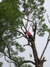 Ash Tree Felling